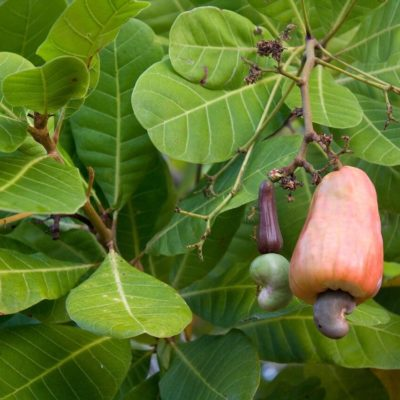 Caju (Cashew) - Power und Health Food (2)