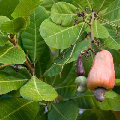 Caju (Cashew) - Power und Health Food (2)