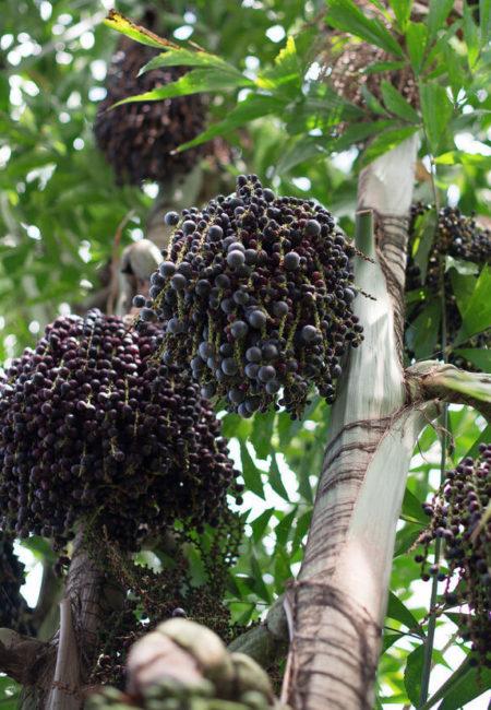Acai-Beeren – die Kraft der Antioxidantien