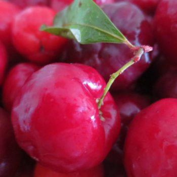 Acerola (Malpighia punicifolia) - die Vitamin-C-Bombe (3)