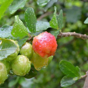 Acerola (Malpighia punicifolia) - die Vitamin-C-Bombe